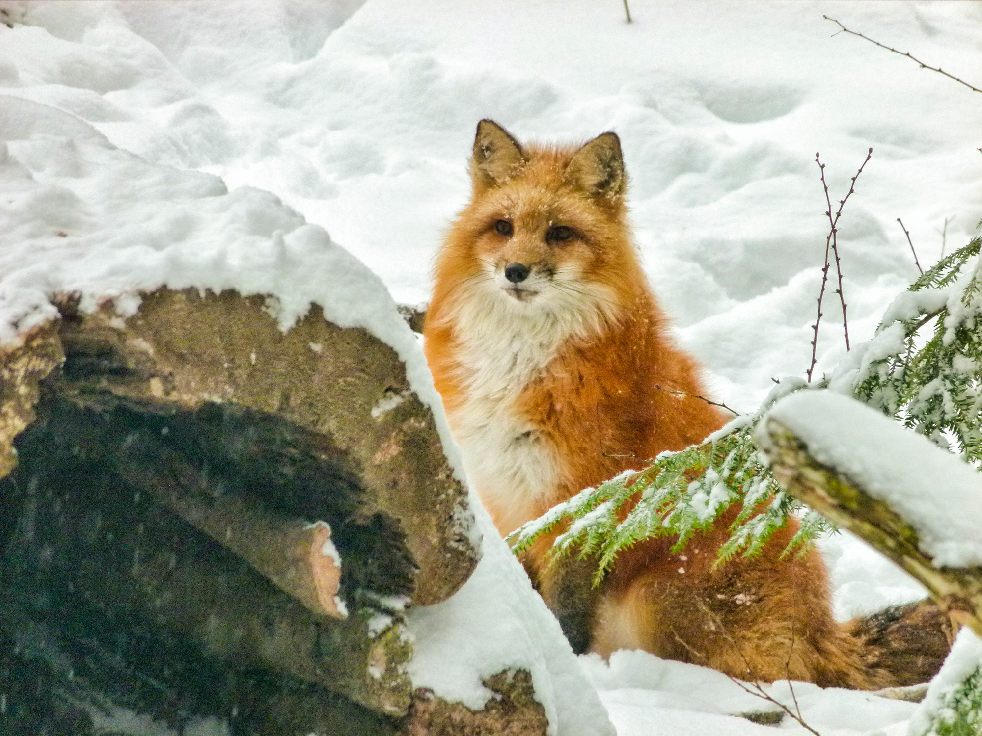 Red Fox at the Science Center