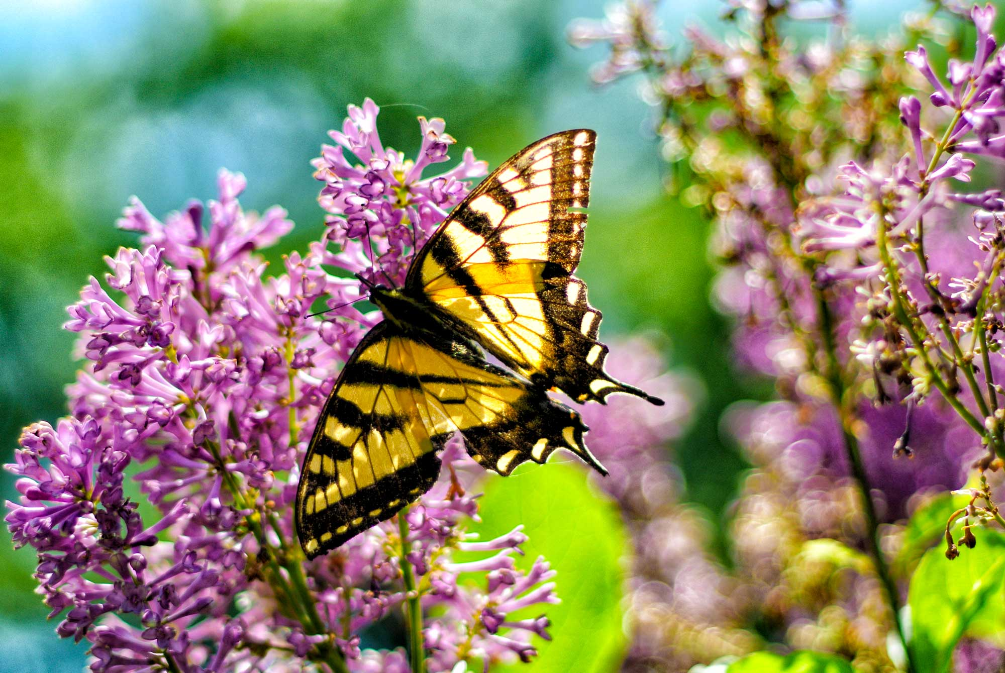 Eastern Tiger Swallowtail on purple lilac