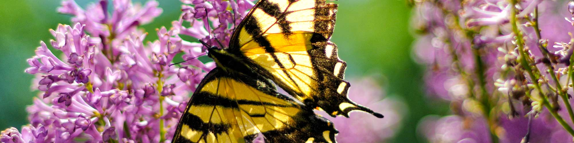 Swallowtail butterfly on lilacs