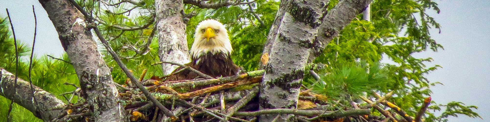 Bald Eagle sitting in a nest in a tree