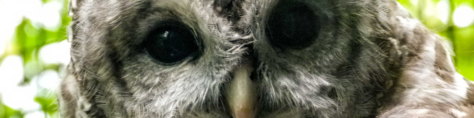 Barred Owl | Squam Lakes Natural Science Center