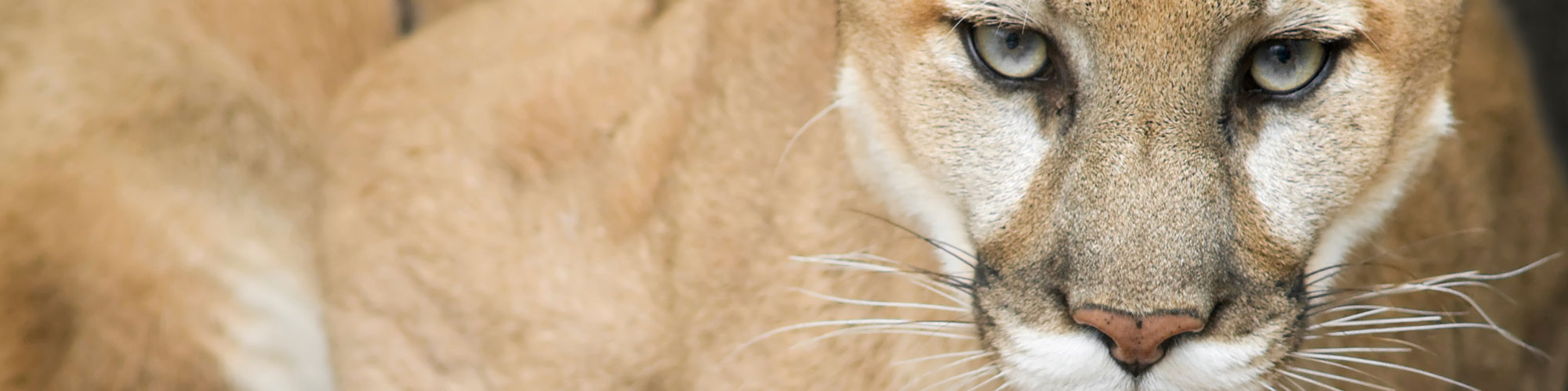 Close up of mountain lion face