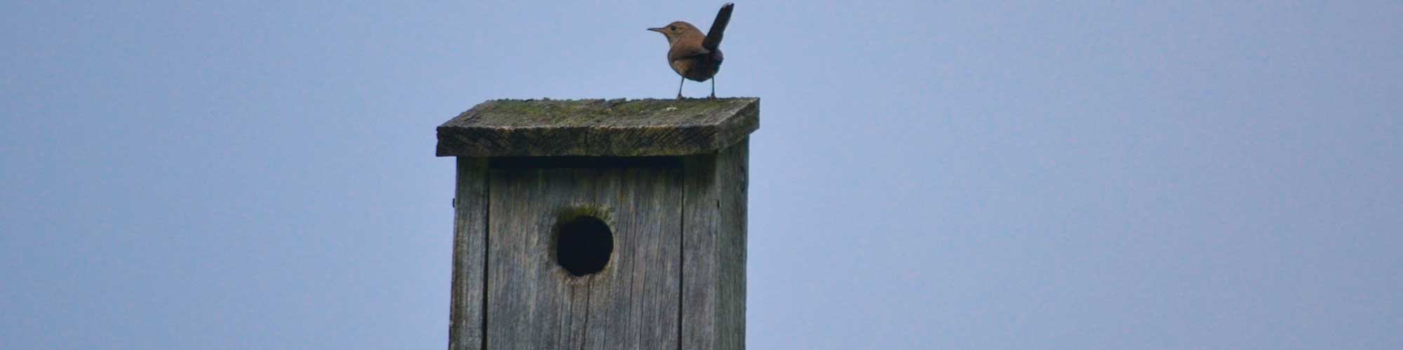 Nestbox with House Wren