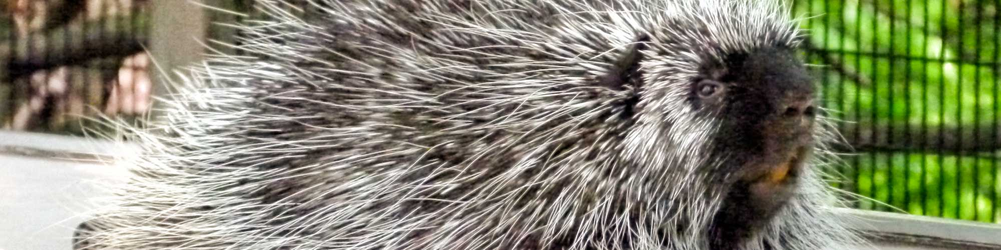 Porcupine face and body