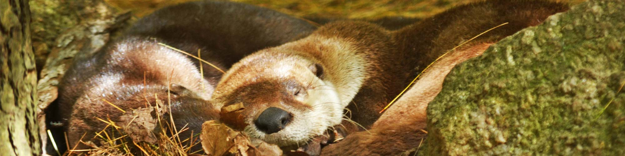 Two river otters curled up sleeping.