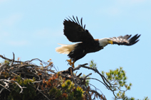 Squam Eagle with band by RIck Libbey