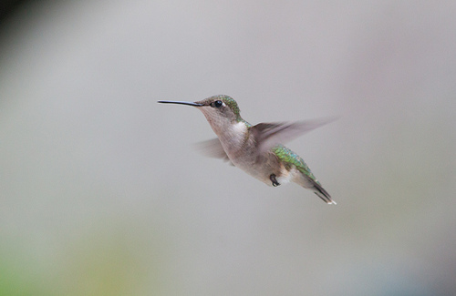 YBC- Ruby Throated Hummingbird by Aiden Moser