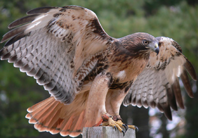 Red tailed hawk squam lakes natural science center - Red tailed hawk wallpaper ...