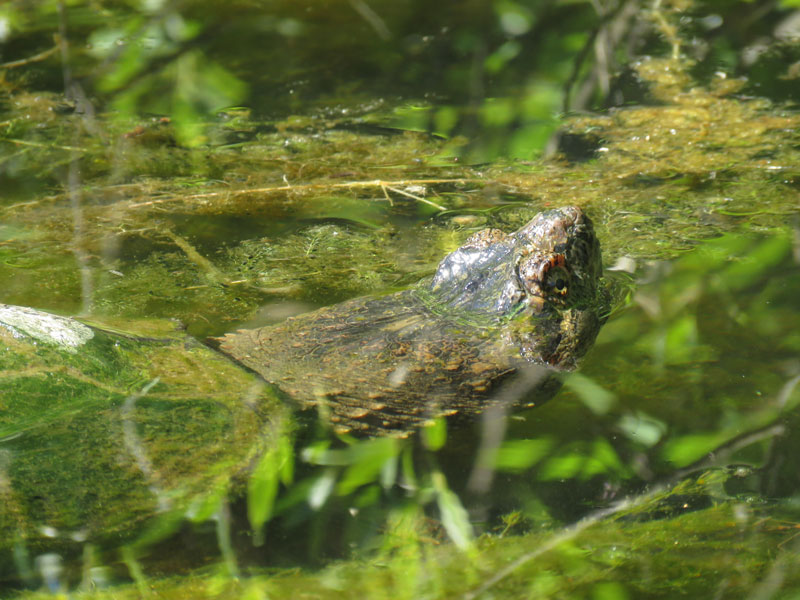 Snapping turtle poking nostrils above water