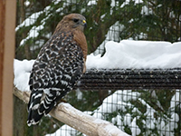 Red-shouldered hawk in snow