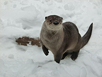 River otter in snow