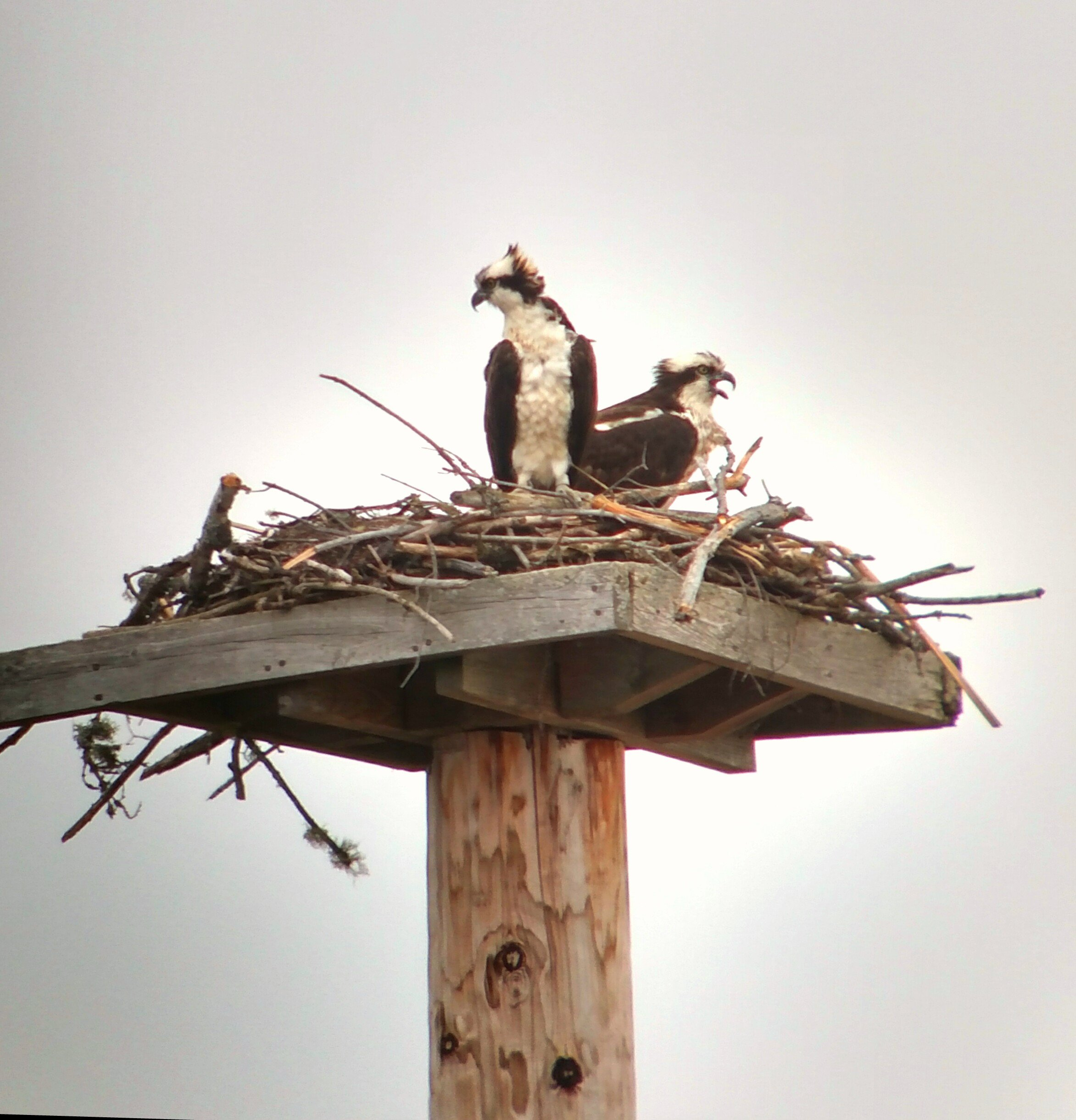 Wausau on nest