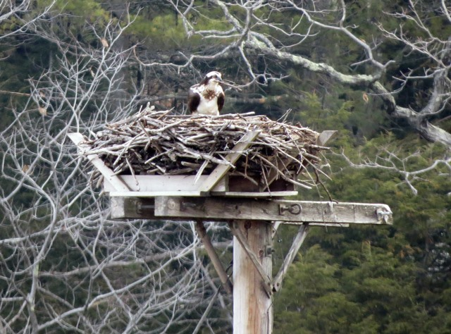 Female osprey at nest in Bridgewater, NH